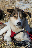 Charlie Bejna's dog rests in the sun at the Shageluk checkpoint on Saturday March 9, 2013...Iditarod Sled Dog Race 2013..Photo by Jeff Schultz copyright 2013 DO NOT REPRODUCE WITHOUT PERMISSION
