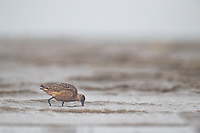 Marbled Godwit (Limosa fedoa) from the isolated Alaska Peninsula population feeding during fall migration in Alaska. Bristol Bay, Alaska.