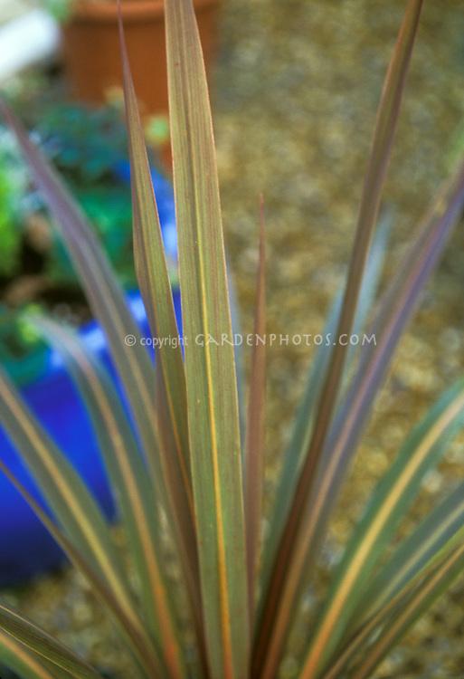 Foliage spikes of Cordyline Sundance