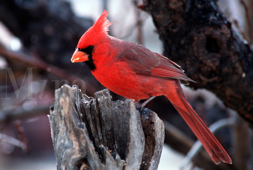 Northern Cardinal-male. (Cardinalis cardinalis). Arizona.