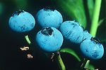 Close-up of blueberries on bush.