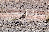 Australian Pratincole, Normanton - Cloncurry road, Queensland, Australia