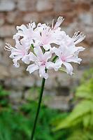 Nerine sarniensis 'Hanley Castle'