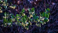 Cercocarpus traskiae (Catalina Island Mountain Mahogany) flowering branch California native shrub at Leaning Pine Arboretum