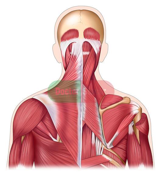 Posterior musculature of upper torso