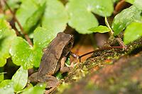 Litter Toad (Truando Toad), Rhaebo haematiticus (formerly Bufo haematiticus), at Tirimbina Biological Reserve, Costa Rica