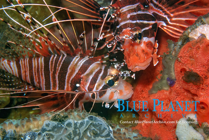 Pair of spotfin lionfish, Pterois antennata, resting on coral reef at night, Dumaguete, Negros Island, Philippines
