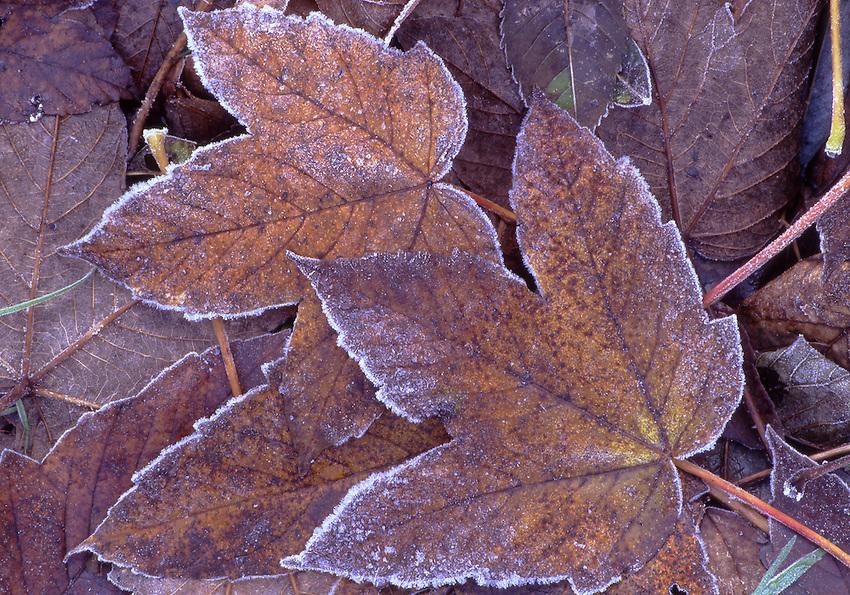 Europe, DEU, Germany, Northrhine Westphalia, Lower Rhine, Autumn, Leaf