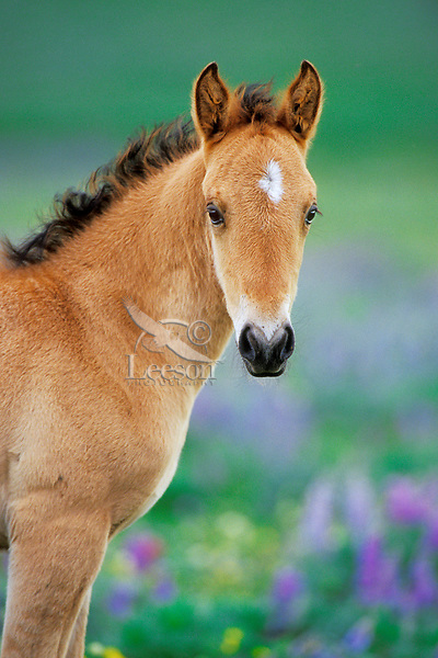 Young wild horse colt with wildflowers.  Western U.S., summer..(Equus caballus)