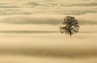 English Oak (Quercus robur) in fog, Switzerland, Europe