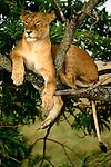 African Lion resting in tree, Kenya