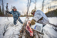 Yegor Dyachkovsky adds wood while hunter Ion Maxsimovic douses a wolf carcass with petrol as they prepare to burn the skinned remains of an animal they trapped and shot earlier. The temperatures are so extreme, falling to as low as minus 50 degrees celsius, that the body of a wolf can freeze solid in as little as two hours. Hunters are paid for every pelt they deliver, but the carcasses have no commercial value and are destroyed.  An explosion of the wolf population has had a devastating impact on the reindeer herds that are the lifeblood for the indigenous Evenki people of the Siberian state of Sakha (Yakutia). In 2012 it was estimated that between 12,000 - 16,000 reindeer were lost to wolf attacks, at a cost of around 15,000 rubles (153.00 GBP) per animal. In response the local authorities introduced a three month hunt with a bounty to encourage hunters to target wolves with the aim of reducing their numbers from 3,500 to 500. Hunters earn 400 USD (280 GBP) per proven kill, plus a further 400 USD (280 GBP) selling the skin to the fur trade. Ion Maksimovic, the region's most celebrated wolf hunter, killed 23 wolves in 2014, more than any other hunter, and in doing so won a prize of 300,000 roubles (3,060 GBP) and a snowmobile.