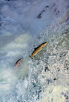 Steelhead (Oncorhynchus mykiss) jumping falls on Pacific Northwest River--they are on spawning migration from ocean up freshwater stream.  Steelhead are the anadromous form of the rainbow trout which are from the same general fish family as salmon.