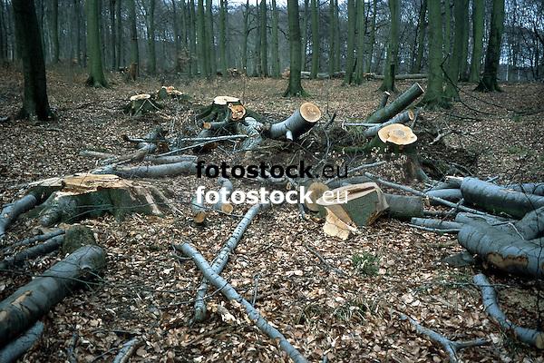 felled beeches in autumnal forest<br /> <br /> hayas cortadas en un bosque de otoño<br /> <br /> gefällte Buchen in Herbstwald<br /> <br /> Original: 35 mm slide transparancy