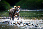 Grizzly Bear (Ursus arctos horribilis) with Pink Salmon (Oncorhynchus gorbuscha), Atnarko River, Tweedsmuir Park, British Columbia, Canada
