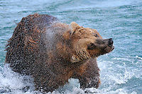 A brown bear shakes the water of at the McNeil River Falls, in Alaska's McNeil River State Game Sanctuary.