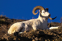 A Dall sheep ram eyes passersby at Denali National Park