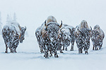 Bison, Yellowstone National Park, Wyoming, USA<br /> <br /> A small herd of bison roams the Lamar Valley in the dead of winter. By using their broad heads as shovels, the bison are able to reach grasses buried beneath deep snow.