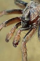 Braune Falltürspinne, Falltür-Spinne, Nemesia spec., funnel-web tarantula, Tube Trapdoor Spider, Braune Falltürspinnen, Nemesiidae, funnel-web tarantulas, Tube Trapdoor Spiders