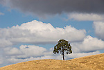 Oaks and clouds on golden hillside, late summer, Amador County, Calif.