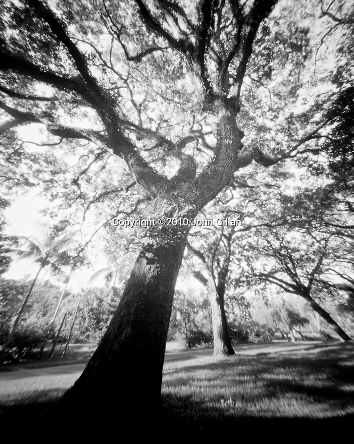Soaring view of an old oak tree in South Florida. Photograph taken with a pinhole camera.