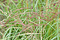 Eragrostis tef 'White-seeded', early July. Also known as Teff, Williams' lovegrass or annual bunch grass, it is an annual grass, native to Ethiopia and Eritrea. It is raised for its edible seeds.