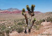 0316-1106  Joshua Tree (Yucca Tree), Mojave Desert and Great Basin, Yucca brevifolia  © David Kuhn/Dwight Kuhn Photography