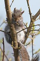 Grey Squirrel in a tree.