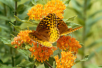 Two great spangled fritterlary butterflies,  Speyeria cybele, on butterfly weed, (Asclepias tuberosa,