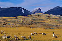 Bighorn Sheep rams grazing in Wilcox Pass, Canadian Rockies, fall.