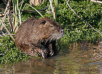 0715-0807  Nutria (syn. Coypu), Myocastor coypus © David Kuhn/Dwight Kuhn Photography