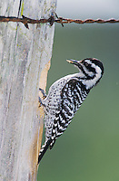 Ladder-backed Woodpecker, Picoides scalaris,female on cavity in fence post, Welder Wildlife Refuge, Sinton, Texas, USA, April 2005