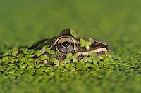 Rio Grande Leopard Frog (Rana berlandieri), adult in duckweed, Fennessey Ranch, Refugio, Corpus Christi, Coastal Bend, Texas Coast, USA