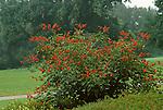 2868-CA Natal Coral Tree, Erythrina humeana, at Huntington Gardens, San Marino, CA