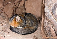1118-0810  Gray Fox in Desert Underground Resting in Den, Urocyon cinereoargenteus © David Kuhn/Dwight Kuhn Photography