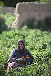8 June 2013, Mazar-i-Sharif, Balkh Province, Afghanistan. Local woman Sabria Nawabi inspects her tomato plants at her small plot - or kitchen garden - on her family property in Mazar-i-Sharif.  She is cultivating eggplants , corn, radish and tomato. Sabria is a beneficiary of the new National Horticulture and Livestock Project (NHLP).  The NHLP is providing training and equipment to farmers to assist in increasing production and to improve management of lands and animals. Picture by Graham Crouch/World Bank