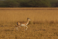 A baby Black Buck tries to keep up with its mother in Black Buck Reserve, Velavadar, Gujarat, India