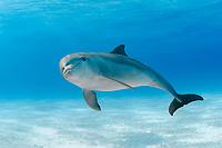 common bottlenose dolphin, Tursiops truncatus, Little Bahama Banks, Bahamas, Atlantic Ocean