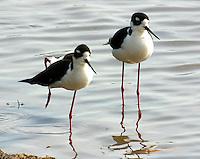 Pair of adult black-necked stilts