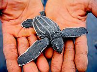 leatherback sea turtle, Dermochelys coriacea, hatchling, being held in hand, Dominica, Caribbean Sea, Atlantic Ocean