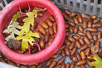 Oak acorns that will be seeded with truffles spores, planted and grown to truffles trees Truffiere de la Bergerie (Truffière) truffles farm Ste Foy de Longas Dordogne France
