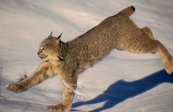 LYNX running on snow with big feet..Winter. Rocky Mountains..Felis lynx canadensis.