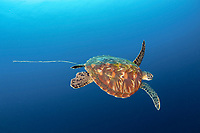 green sea turtle, Chelonia mydas, getting rid of ingested plastic, sea turtles confuse plastic with food, this can cause them serious health issues and even kill them, Balicasag Island, Visayas, Philippines, Pacific Ocean