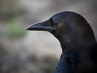 Close view of head and neck of an American Crow in profile