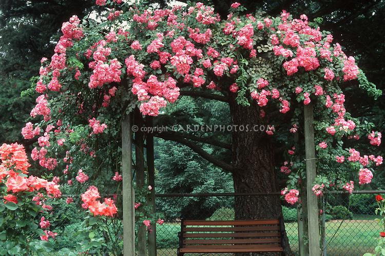 Rosa American Pillar climbing rose over trellis, pink flowers, bench arbor, rambling rose