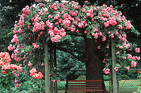 Rosa American Pillar climbing rose over trellis, pink flowers, bench arbor, rambling rose