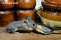 MU56-028z  Deer Mouse - immature young in kitchen  - Peromyscus maniculatus