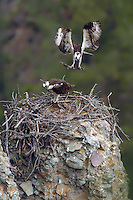 Ospreys (Pandion haliaetus) use their same nests year after year, and some believe the nest are even used by multiple generations of the same osprey family. Like any good home, the nests occasionally need a little improvement. Ospreys collect their sticks by flying very low over dead trees and snatching the top branches off with their powerful feet. Calcite Cliff, Yellowstone.