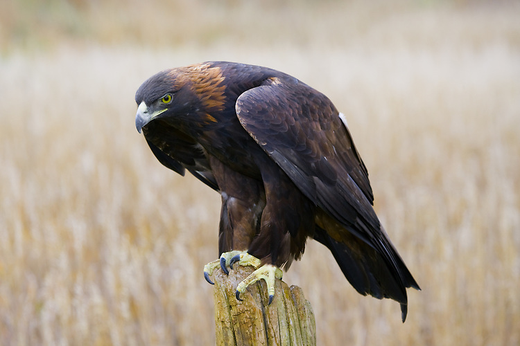 Golden Eagle perched on an old post