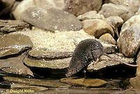 MU40-009z   Water Shrew - preparing to dive into water - Sorex palustris